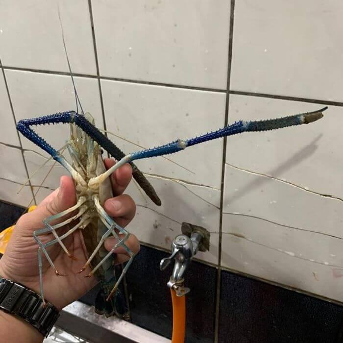 [桃園釣蝦] 桃園瀧泰釣蝦場。大公蝦
